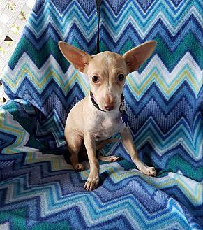 9 10 17 Philadelphia Pa Chihuahua Mix Meet Joannie A Puppy For