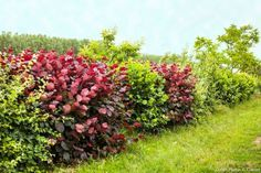 6 Plantes Ideales Pour Une Haie De Jardin Haies De Jardin