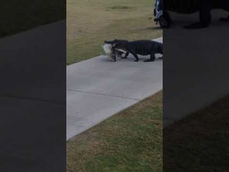 Alligator Walks Across Golf Course With A Huge Fish In Its Mouth A Florida Family Was Startled After They Spotted A Gi Funny Golf Gifts Alligator Animal Lover