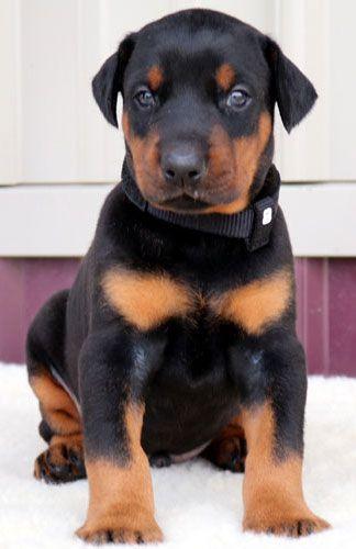 Doberman Puppies For Sale Usa Doberman Puppy Doberman Pinscher Doberman Puppies For Sale