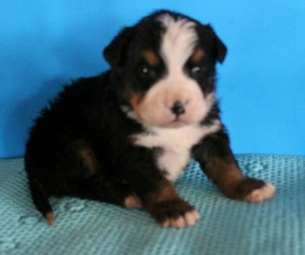 Bernese Mountain Dog Puppy For Sale In Fresno Oh Adn 69423 On