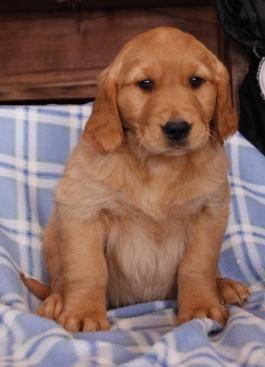 Goldenretriever Goldenretrieverpuppy Goldenretrieverpuppies Goldenretrieverlovers Charming Puppiesofpinterest Golden Retriever Lancaster Puppies Puppies