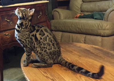 What A Cute Bengal Cat I Am Getting A Kitten This Year I Want