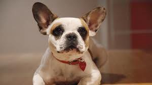Stella from Modern Family. French Bulldog. So cute!