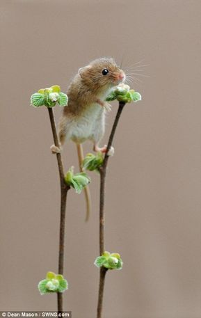 Harvest mice are seen playing among the plants in Dorset