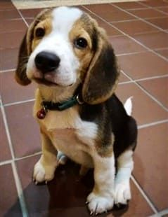 Potty Training Your Pooch Potty Training Puppy Beagle Puppy