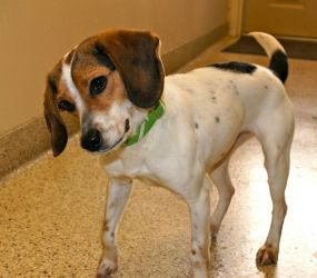 Adopt Cupcake On Beagle Dog Adoptable Beagle Beagle Puppy