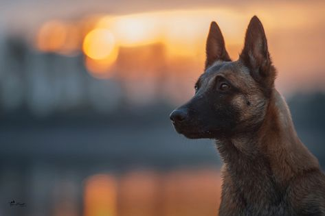 Look, light, dog, bokeh, Belgian Malinois wallpaper • Wallpaper For You HD Wallpaper For Desktop & Mobile