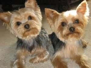 Short Haircut Yorkie Yorkshire Terrier Bing Images