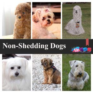 Non Shedding Dogs Top 10 Dog Breeds That Don T Shed Dog Breeds That Dont Shed Dog Breeds Dog Shedding