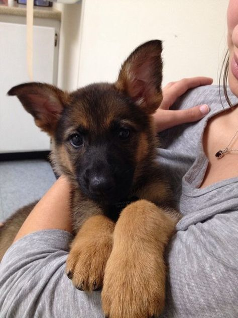 Wicked Training Your German Shepherd Dog Ideas. Mind Blowing Training Your German Shepherd Dog Ideas. Gsd Puppies, Cute Dogs And Puppies, Pet Dogs, Dog Cat, Pets, Doggies, Malinois, Schaefer, German Shepherd Puppies