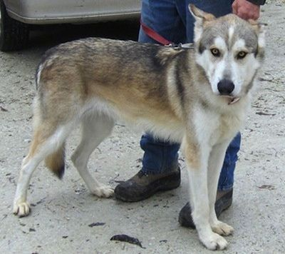 The Right Side Of A White With Tan And Black Alaskan Husky That Is