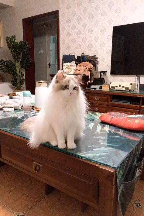 Where to Find Ragdoll Kittens for Sale? #ragdollkittens Where to Find Ragdoll Kittens For Sale? If you are looking to buy a Ragdoll Kitten or adopt, it might seem straightforward, however there are many things you should know beforehand. Click our pin to follow the tips for buying a Ragdoll Cat #Ragdoll #Ragdollcats #Ragdollkittens #kittens #cats #ragdollkittens Where to Find Ragdoll Kittens for Sale? #ragdollkittens Where to Find Ragdoll Kittens For Sale? If you are looking to buy a Ragdoll Kit