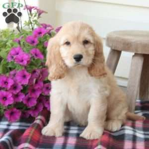 Cockapoo Puppies For Sale Cockapoo Dog Breed Info Cockapoo Puppies Cockapoo Puppies For Sale Dog Breed Info