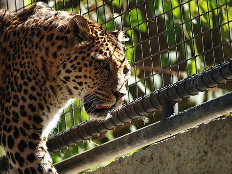 Pensando alla lonza dantesca, Borges immagina di essersi  trovato davanti a un leopardo in gabbia, e di avergli  detto: «Vivi e morirai in questa prigione, affinché un uomo  che so io ti guardi un certo numero di volte e non ti scordi  e metta la tua immagine e il tuo simbolo in un poema che  occupa un posto preciso nella trama dell'universo. Patisci  prigionia, ma avrai dato una parola al poema». > Tre postille ad un soffitto viola