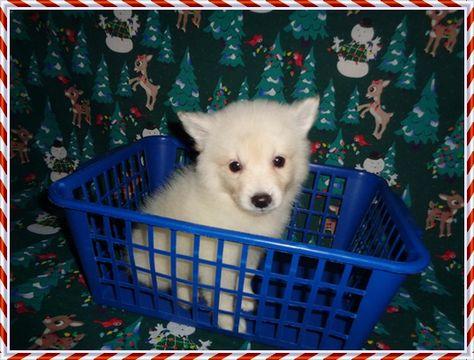 American Eskimo Dog Puppy For Sale In Clarksville Tn Adn 53794
