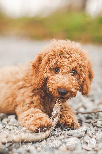 Craigslist Seattle Pets Puppies