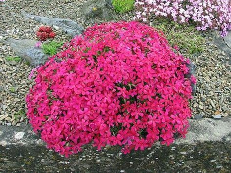 100 pcsbag creeping thyme seeds or multi color rock cress seeds 100 pcsbag creeping thyme seeds or multi color rock cress seeds perennial flower seeds ground mightylinksfo