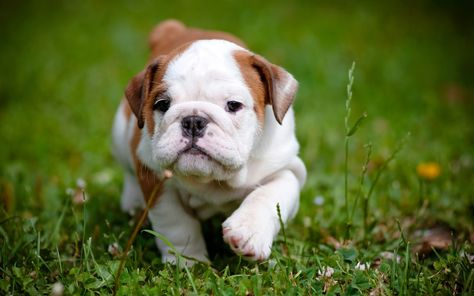 Aren T Bulldog Puppies The Cutest Here S Everything You Need To