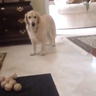 My Dog Can Not Catch The Ball With Images Funny Dog Pictures