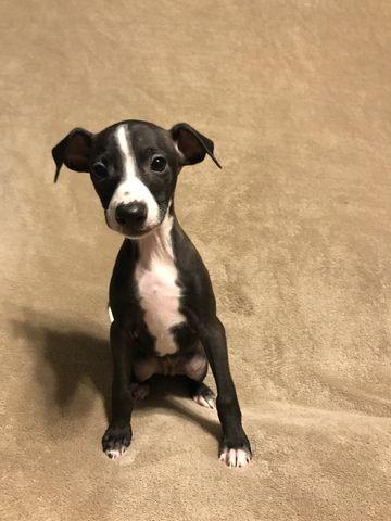 Italian Greyhound Puppy For Sale In Alton Il Adn 57533 On