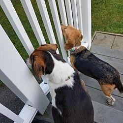 New York Ny Beagle Meet Cricket A Dog For Adoption Beagle