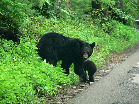 Black Bears in the Smoky Mountains | Lee Coursey | Flickr