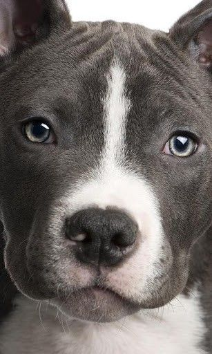 Pitbull Dog Wallpaper 11311 Pitbulls Pitbull Terrier Pitbull Dog