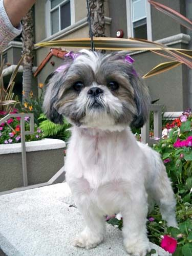 Adopt Brittney On Petfinder Cute Small Dogs Cutest Small Dog Breeds Shih Tzu Dog