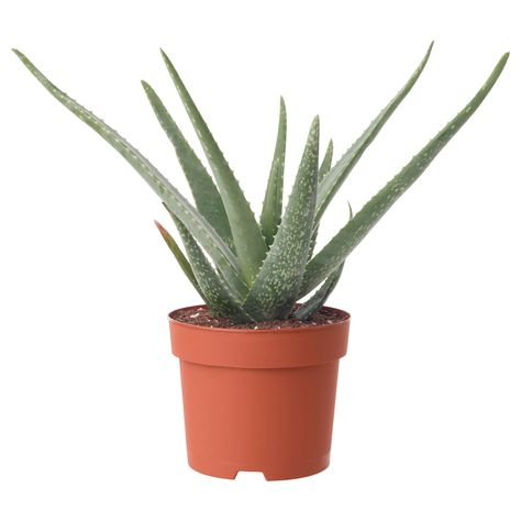 ALOE VERA Pflanze - Aloe Vera   Aloe vera pflanze, Pflanzen ...