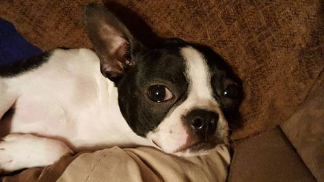 Our Boston Terrier Is Getting Spayed Any Advice Any Changes