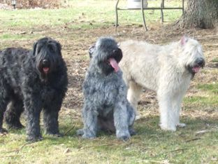 Pin On 4 Our Bouvier And Akita Pup