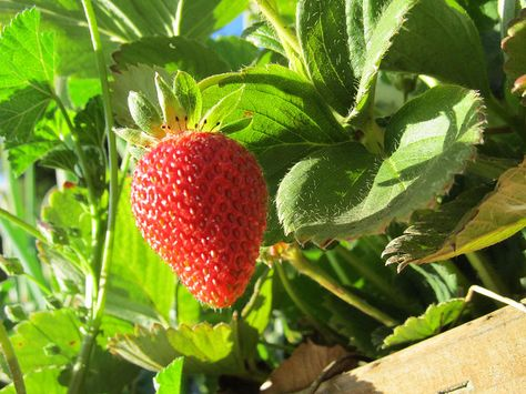 Strawberries rock <3