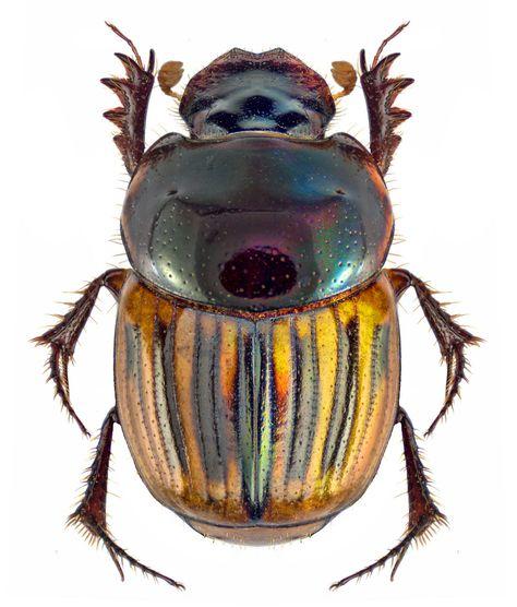Onthophagus difficilis