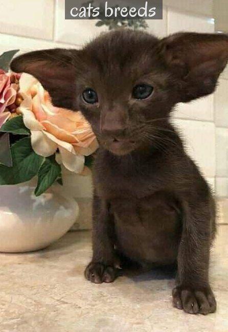 If My Dog And Cat Were To Breed Orientalshorthair Wenn Mein Hund Und Meine Katze Zuchten Wurden Orientalisch Kurzhaar In 2020 Katzen Zuchten Katzen Susse Tiere