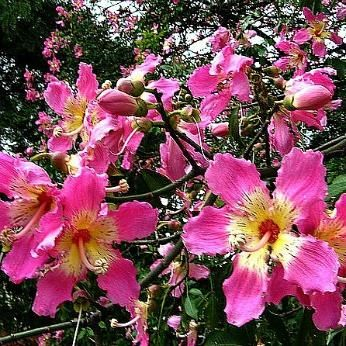 Chorisia Speciosa Silk Floss Tree Ceiba Landscaping With Rocks Flower Pot Design