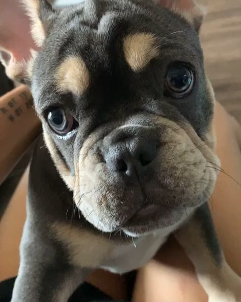 𝕄𝕠𝕞 ℙ𝕒𝕨𝕖𝕖𝕖𝕖𝕤𝕖.!. . . . . . #frenchbulldog #frenchie #paws #boydog #girldog #blog #vlog #style #fashion #newyear #nailsofinstagram #akc #americankennelclub #futurestud #marriedatfirstsight #marthastewartliving #dogbreeds #breeders #trainingcamp #goodbog #harness #trifrenchie #bluefrenchbulldogs #bluefrenchie #dogbreeds #dogbreeder #dogbreeding #petphotography #lovepuppies #puppy #dogsofig #dog #dogs #norskehunder #norwegiannature #doglover #ilovedog #ilovedogs