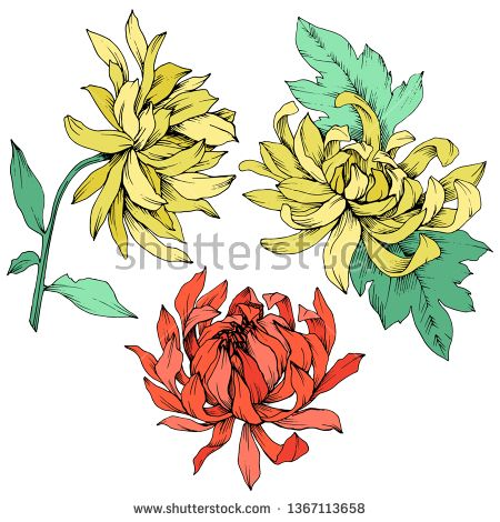 Stock Vector Vector Red And Yellow Chrysanthemum Floral Botanical Flowers Wild Spring Leaf Wildflower Isolated Yellow Chrysanthemum