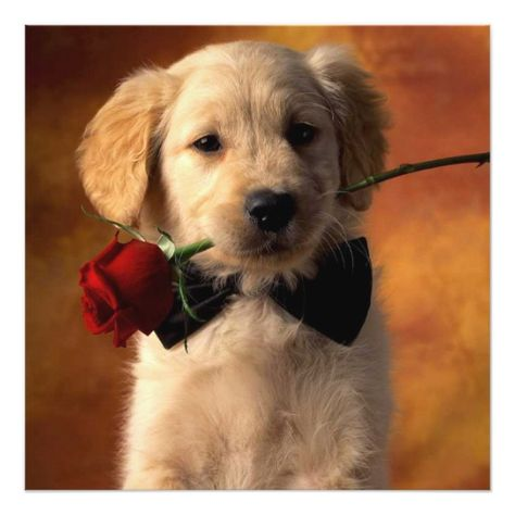 Golden Retriever Puppy Holding Red Rose Card Zazzle Com