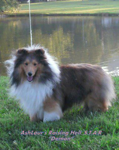 Ashlaur Shetland Sheepdogs Shelties Charleston West Virginia Sheltie Shetland Sheepdog Sheepdog