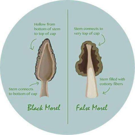 Save your stomach and learn the important difference between real and false morel mushrooms. Two key indicators separate the two spring fungi. Edible Wild Mushrooms, Stuffed Mushrooms, Mushroom Guide, Mushroom Identification, Growing Mushrooms At Home, Edible Wild Plants, Mushroom Hunting, Mushroom Fungi, Wild Edibles