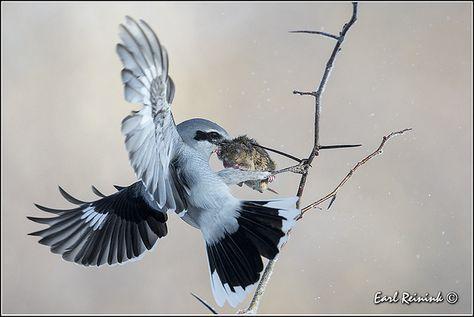 Northern Shrike