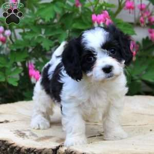 Francine Cavachon Puppy For Sale In Pennsylvania Cavachon Puppies Cavachon Puppies