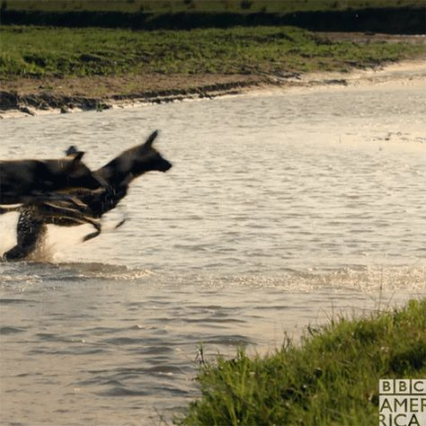 Last One Across The River S A Rotten Egg Dynastiespaintedwolf Wolf Running Bbc America Wild Dogs