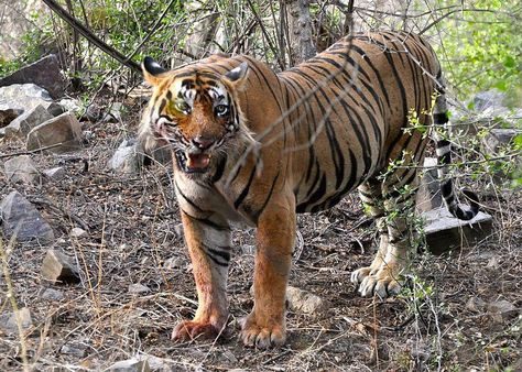 Ranthambore tiger tale wins National Award for the Best