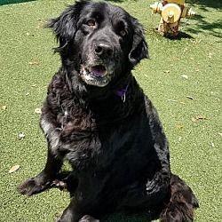 Fort Myers Florida Senior Labrador Retriever Meet Sandi A For Adoption Https Www Adoptapet Com Pet 21562111 Fo Labrador Retriever Pets Hd Dog Photos