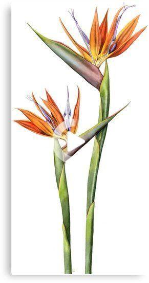 Bird Of Paradise Flower Strelitzia Reginae Canvas Print By Lynne Henderson In 2020 Bird Of Paradise Tattoo Birds Of Paradise Flower Flower Drawing