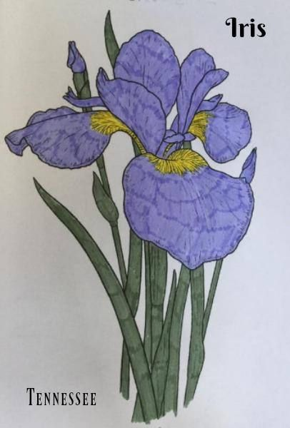 Coloring Page Iris Tennessee State Flower Adult Coloring Flower