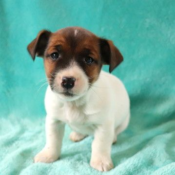 Jack Russell Terrier Puppy For Sale In Gap Pa Adn 71758 On