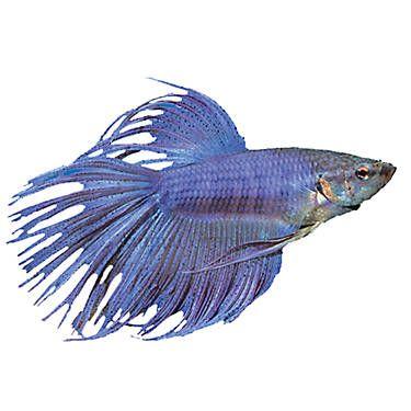 Crowntail Betta Pet Fish Betta Betta Fish